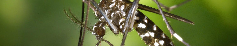 Le moustique tigre, 58 départements concernés