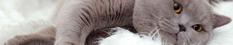 Le ronronnement du chat, toujours mystérieux…