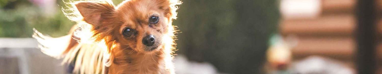 Un chien avec des oreilles au top de l'hygiène