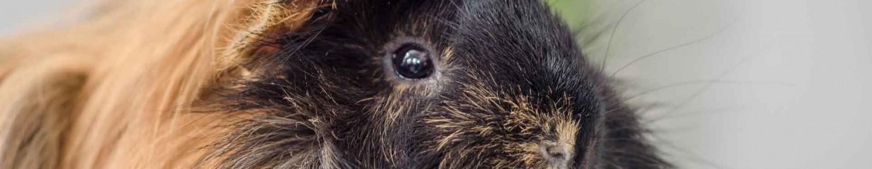 Le cochon d'Inde : ce cobaye de compagnie